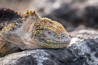 Land Iguana - Galapagos D85_0867.jpg
