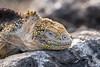 Land Iguana - Galapagos D85_0867.jpg (Mobile Lynn) Tags: wild reptiles landiguana iguana nature conolophussubcristatus fauna reptile wildlife southplazaisland galapagosislands ecuador ec coth specanimal coth5 sunrays5 ngc npc