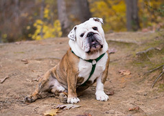 hiking with Mr. Truck (Ginny Williams Photography) Tags: bulldog englishbulldog bulldogs dog dogs charlotte nc photographer blogger nature face portrait cute adorable beautifulenglishbulldog gorgeousdog wrinkles outside outdoors november fall autumn hiking northcarolinaphotographer northcarolina