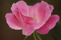 Soft (hanley.will) Tags: rose pink pinkrose pinkflower flower softfocus floral composition depthoffield focus stilllife