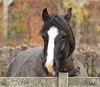 Horse #3 Butter wouldn't melt.... (MJ Harbey) Tags: animal mammal fence horse equus buckinghamshire nikon d3300 nikond3300 blackhorse