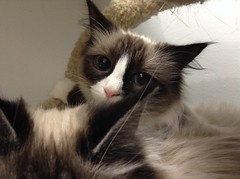 Fiona - 1 year old spayed female