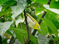 Private Eyes (Jimweaver) Tags: zosterops japonicus whiteeye 粉眼 白眼 白目眶 綠繡眼 bird wing yellow feather 鳥 羽 飛 翅膀 fly tree leaf hide look watch nature fruit mountain 果 樹 葉 山 汐止 翠湖 步道 path green lake 自然 stream 溪 台灣 新北 taiwan taipei 青笛仔 asia 亞洲
