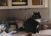 kitchen renovation continues (rootcrop54) Tags: batman tuxedo longhair furry male cat kitchen countertop eyes window pink neko macska kedi 猫 kočka kissa γάτα köttur kucing gatto 고양이 kaķis katė katt katze katzen kot кошка mačka gatos maček kitteh chat ネコ