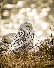 """Stayin' Alive . . . "" (Dr. Farnsworth) Tags: bird large owl snowy snowyowl wastewater bokeh sunlight bright food mice voles muskegon mi michigan fall november2017"
