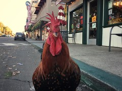 Cock Block (misterbigidea) Tags: meanmug wild freerange storefront watchingme smalltown americana signs sign business downtown village sidewalk view street chicken staredown rooster attitude cocky
