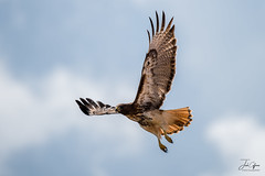 Red-tailed Hawk (J.Coffman Photography) Tags: redtailed