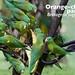 Orange-chinned Parakeet, Brotogeris jugularis