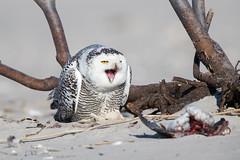 "Ubiquitous Yawn 310408 (Dr DAD (Daniel A D'Auria MD)) Tags: ""snowyowl"" snowy owl bird birds raptor raptors ""birdsofprey"" ""birdsofnorthamerica"" ""irruption"" nature wildlife animals ""birdphotography"" ""naturephotography"" ""birdsinflight"" ""snowyowlinflight"" ""children'swildlifebooksbydanielad'auriamd"" ""danielad'auriamd"" ""drdadbooks"" ""november2017"" ""owlsofnorthamerica"""