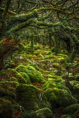 Wistman's Wood (Rich Walker75) Tags: dartmoor devon wood woodland trees tree boulder rock moss branch branches green landscape landscapephotography landscapes forest canon eos100d efs1585mmisusm eos nationaltrust naturereserve nationalpark