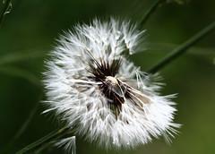 Dandelyon (leograttoni) Tags: naturaleza nature dandelyon panadero semilla seed hierba silvestre wilde airelibre laplata buenosaires