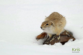 Alashan ground squirrel, in the snow (Mongolia)