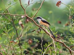 20171123-EM123915 (shutterblades) Tags: birds longtailedshrike olympusem1mkii olympusmzuiko300mmf4pro14tc seletaraerospacehub seletarwestlink
