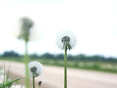 A Dandelion Glow (Ele June) Tags: dandelion roadside green white macro ontariocountryside
