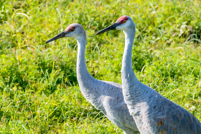 Jasper-Pulaski Fish & Wildlife Area - Sandhill Cranes - November 3, 2017