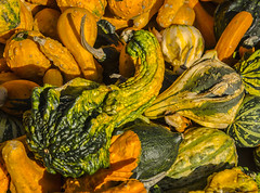 """Lots of Gourds For Sale At Farmers Market In Manhattan (nrhodesphotos(the_eye_of_the_moment)) Tags: dsc28063001800 """"theeyeofthemoment21gmailcom"""" """"wwwflickrcomphotostheeyeofthemoment"""" autumn2017 manhattan nyc gourds shapes farmersmarket outdoors decorations"""
