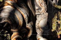Detail, Bristlecone Pine Trunk (chasingthelight10) Tags: events photography travel landscapes forests mountains nature sunrises sunrise places california independence whitemountains bristleconepineforest sierranevada