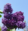 Lilac in my garden. (The Pocket Rocket, On and Off.) Tags: lilac mygarden