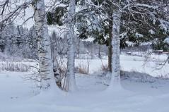 Snow (Stefano Rugolo) Tags: stefanorugolo pentax k5 smcpentaxda1855mmf3556alwr snow landscape white tree hälsingland sweden birch sverige