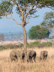 Tanzania '14_2192 (Jimmy Vangenechten 76) Tags: geo:lat=733407700 geo:lon=3711540000 geotagged tanzania africa afrika wildlife safari animal dier mikuminationalpark elephant loxodontaafricana olifant