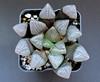 Haworthia bayeri 'Tokuami' ex R. Williamson (ex S.T.C./Netherland 81092, 21.11.2013) (igormilekhin) Tags: haworthia bayeri correcta cultivar tokuami japan stc succulent plant leaf pattern indoor