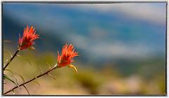 Paintbrush Flowers (Karen McQuilkin) Tags: paintbrush summer revisiting bliss july mountainbokeh