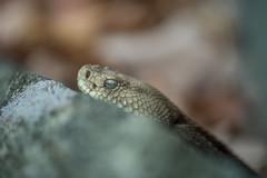 The good eye (mperez171) Tags: timber rattlesnake crotalus horridus venomous snake herping nikon d810