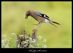 The Jay & the mouse (deanmasonwp) Tags: nature wild wildlife photo photography bird birds avian mouse mice rodent eurasian jay eek dean mason nikon d5 aesop fable windows dorset windowsonwildlife workshop workshops hide hides action fear fright sundaylights animal