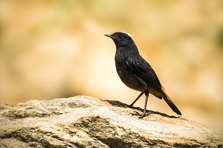 Wonders of Nature: White Capped Water Redstart