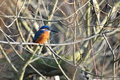 Kingfisher (PhotoCet) Tags: photocet bird birds kingfisher alcedoatthis