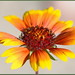 Autumn Gaillardia