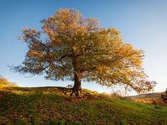 Autumnal Oak (Andy & Helen :-) :)) Tags: oak autumn andyholt nature olympus explored uk britain