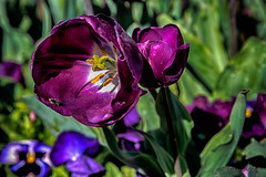Floriade 2017 (Theresa Hall (teniche)) Tags: australia canberra floriade teniche theresa theresahall color colorful colour colourful flower flowers pretty sunshine tulip tulips nikond750 spring springtime dayout niceday nikon macro insect 2017 capture