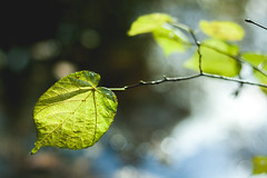 Autumnal Bürgerpark Bremen IV (janmalteb) Tags: deutschland bremen bokeh makro blatt leaf pflanze plant 50mm canon eos 1000d grün herbst autumn fall bürgerpark