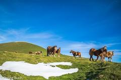 Mes amis (Altitude 1350 m) (Coline Buch - http://coline-buch.fr/) Tags: 2017 aquitaine aquitainelimousinpoitoucharentes colinebuch france lasoule paysbasque campagne extèrieur extérieur montagne nature neige sudouest tourisme chevaux pottok