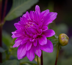 Blooming Dahlia (tresed47) Tags: 2017 201709sep 20170927longwoodflowers canon7d chestercounty content dahlia flowers folder longwoodgarden macro pennsylvania peterscamera petersphotos places season september summer takenby technical us