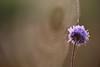 Web in background (Xtraphoto) Tags: violett lila nature natur unsharpness unschärfe spiderweb bokeh cobweb spinnennetz netz web blume flower