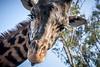 Flirty Giraffe (helenehoffman) Tags: africa kenya tongue masaigiraffe giraffacamelopardalistippelskirchi sandiegozoo giraffe kilimanjarogiraffe conservationstatusthreatened tanzania animal