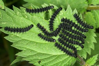 Aglais io - Chenilles de paon du jour, caterpillars of peacock.