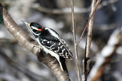 Hairy Woodpecker (Picoides villosus) (Gerald (Wayne) Prout) Tags: hairywoodpecker picoidesvillosus animalia chordata aves piciformes picidae picoides villosus herseylakeconservationarea cityoftimmins northeastern northernontario ontario canada prout geraldwayneprout canon digital camera photographed photography hairy woodpecker birds wildlife nature animals herseylake hersey lake timmins northern canoneos60d