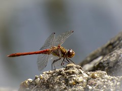 Fragility (Andy Jah) Tags: dragonfly insect wings closeup macro wildlife nature fragile fragility focus depthoffield