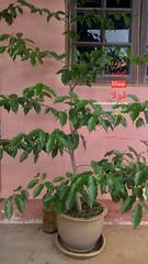Agarwood tree in pot (Agarwood For Life) Tags: rare kyara kinam kynam qinam qinan agarwood 沉香 香道 香文化 奇楠 黄熟香 沈梗 泥沈香 沈香 incense perfume scent aquilaria aloeswood eaglewood resin oud oudh palosanto candan frankincense hirta kodo censer bonsai ambergris bracelet rosary sandalwood incenseheater incenseburner electronicincenseheater musk malaccensis oolong gaharu agaru agar amber алойноедерево العود adlerholz ماليزيا じんこう 沈香とは 沈香木 ジンコウ 伽羅 沉香树 沉香木 sacra rostrata oudoil oudhoil incenserheater incensestick electronicincenseburner electricincenseheater electricincenseburner agarwoodbracelet agarwoodoil agarwoodpendant agarwoodtea agarwoodcoffee agarwoodperfume agarwoodhydrosol agarwoodtree agilawood