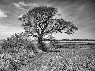 black and white Tree 020
