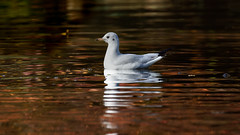 Water birds and colors of fall (2/4) : red (Franck Zumella) Tags: water eau lac lake bird oiseau color couleur reflection reflexion fall autumn automne wildlife nature animal mouette red rouge orange gull