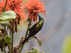 Bronze Sunbird/Nectarinia kilimensis, (odileva) Tags: lakebunyonyi august bronzesunbirdnectariniakilimensis oiseaux lake bird uganda nature ndorwa westernregion ouganda ug
