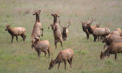 Dancing Elk at Arroyo del la Cruz Creek (Atascaderocoachsam) Tags: cervuscanadensis americanelk wapiti