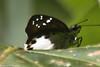 Tagiades vajuna vajuna (Water Snow Flat) (GeeC) Tags: animalia arthropoda butterfliesmoths cambodia hesperiidae hesperioidea insecta kohkongprovince lepidoptera nature pyrginae skipperbutterflies tagiades tagiadesvajunavajuna tatai watersnowflat