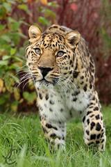 WHF: Hogar (Amur Leopard) (Jasmine'sCamera) Tags: whf wildlifeheritagefoundation bigcat bigcats bigcatsanctuary cat feline wild animals animal kent eyes mouth ears whiskers upclose amazing amur amurleopard leopard hogar spots