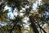 Dreaming Skyward (lensofjon) Tags: canopy malick lubezki portland pdx portlandor trees sooc rawimage unedited