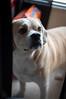 More of Curious Simba (BLiTzBaLLeRx) Tags: sony xfujinon 119 f50mm nex 6 puggle pug beagle smile furbaby alpha pet dog car curious